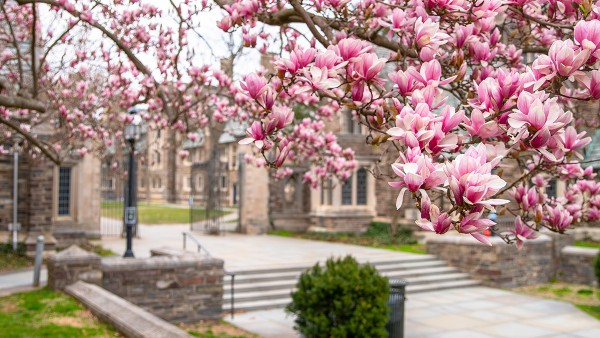 Cherry blossoms blooming in the spring in Princeton