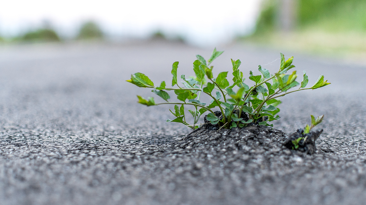 Plant growing through asphalt
